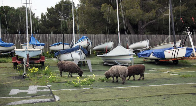 Sheep in front of boats on trailers
