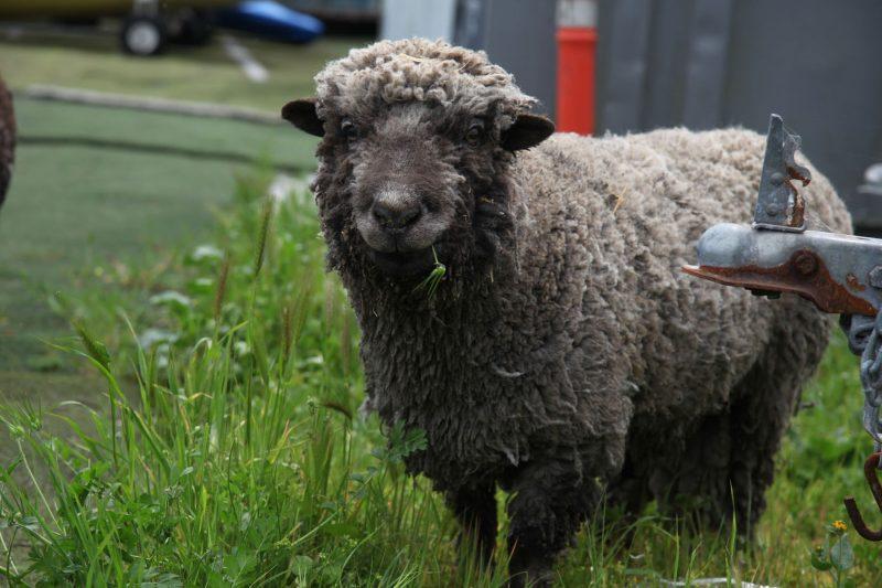 Sheep at Alameda Community Sailing Center