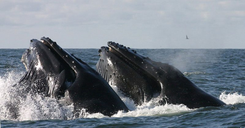 Two humpbacks lunge feeding