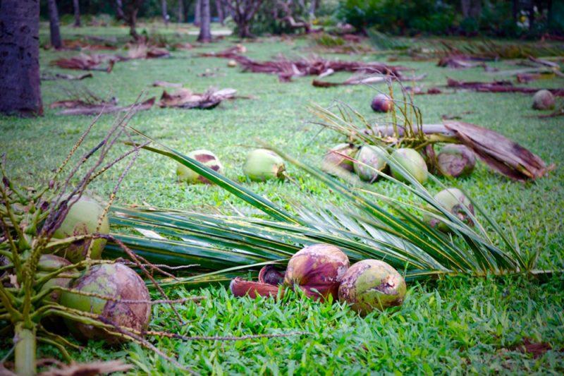 Coconuts strew the grass