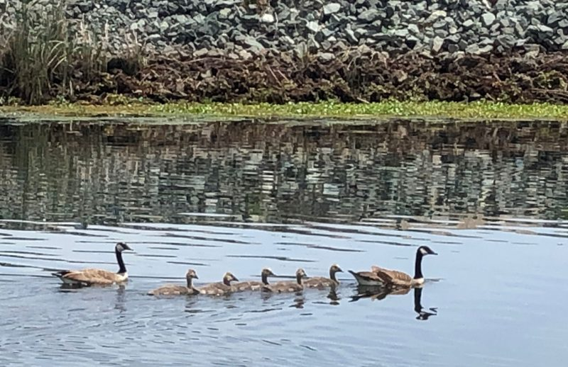 Family of geese swimming by