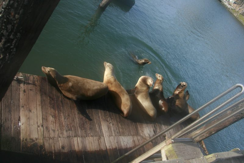 Sea lions bask on the old wooden docks