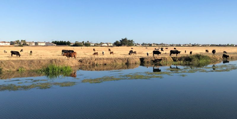 cattle by the riverbank