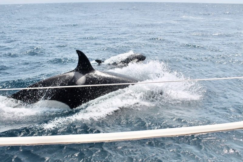 Orcas seen off the bow