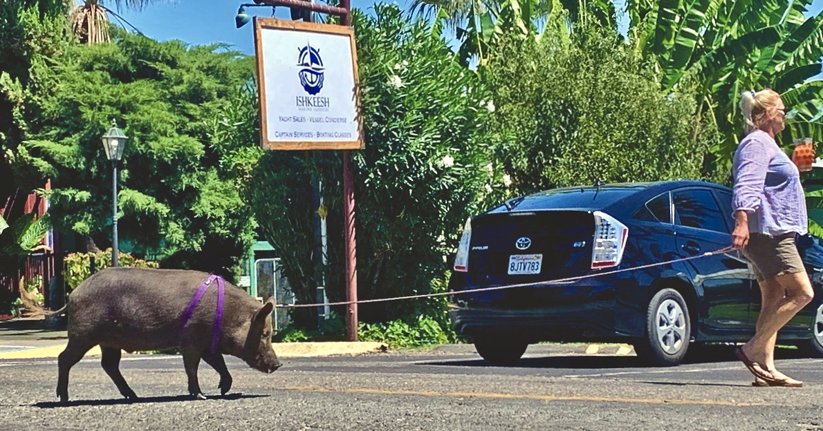 Luau the pig takes a walk