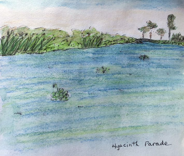 Hyacinth Parade watercolor